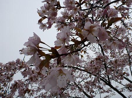 桜松公園の桜04(2012.5.3)