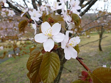 桜松公園の桜06(2012.5.3)