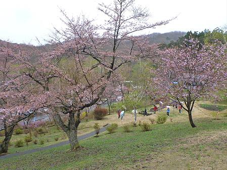 桜松公園の桜13(2012.5.3)