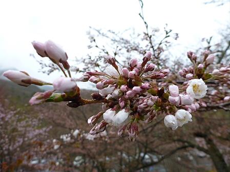 桜松公園の桜14(2012.5.3)