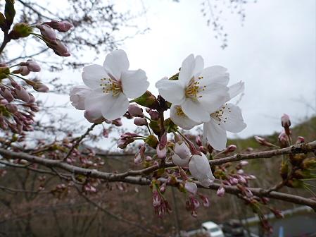 桜松公園の桜15(2012.5.3)