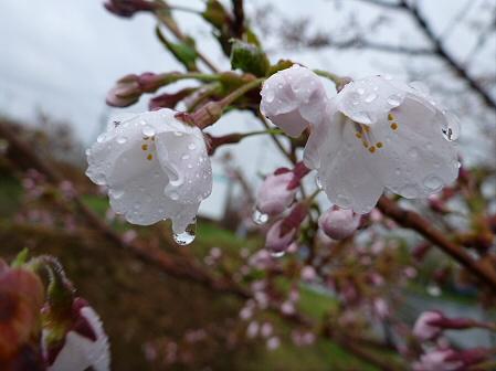 八幡平市さくら公園の桜16(2012.5.3)