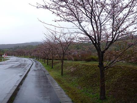 八幡平市さくら公園の桜17(2012.5.3)