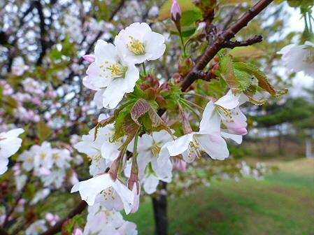 八幡平市さくら公園の桜18(2012.5.3)