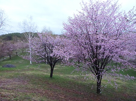八幡平市さくら公園の桜02(2012.5.3)