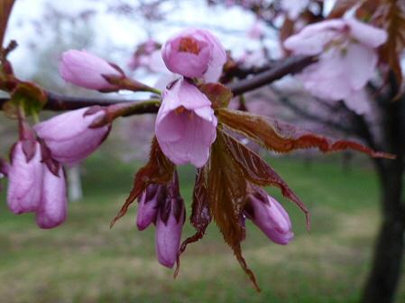 八幡平市さくら公園の桜03(2012.5.3)