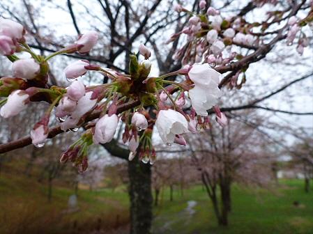 八幡平市さくら公園の桜04(2012.5.3)
