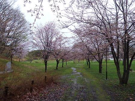 八幡平市さくら公園の桜05(2012.5.3)