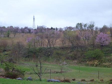 八幡平市さくら公園の桜06(2012.5.3)