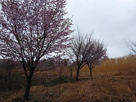 八幡平市さくら公園の桜07(2012.5.3)