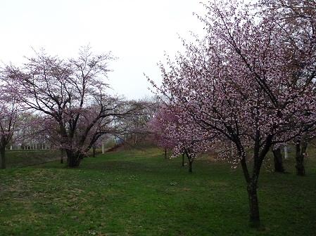 八幡平市さくら公園の桜08(2012.5.3)