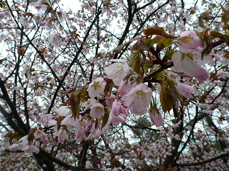 八幡平市さくら公園の桜09(2012.5.3)