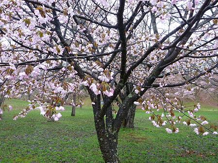 八幡平市さくら公園の桜10(2012.5.3)
