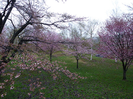 八幡平市さくら公園の桜11(2012.5.3)