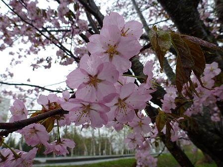 八幡平市さくら公園の桜12(2012.5.3)