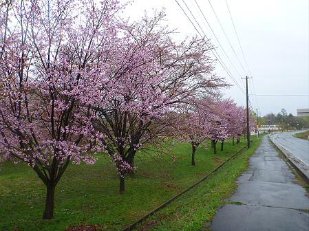 八幡平市さくら公園の桜13(2012.5.3)