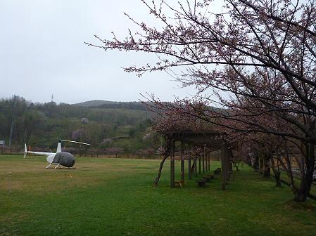 八幡平市さくら公園の桜14(2012.5.3)