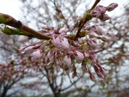 八幡平市さくら公園の桜15(2012.5.3)