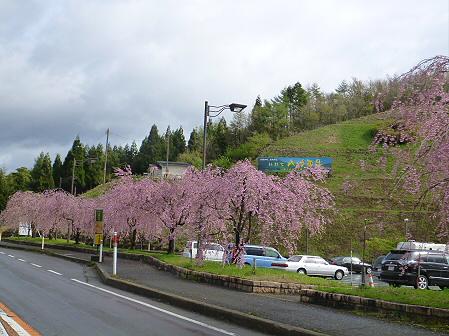 道の駅にしねの桜02(2012.5.5)