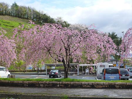 道の駅にしねの桜03(2012.5.5)