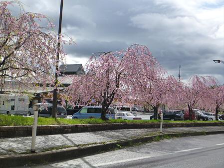 道の駅にしねの桜05(2012.5.5)