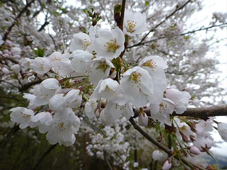 上坊牧野入口付近の桜並木02(2012.5.5)