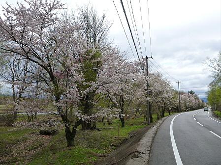 明治百年記念公園の桜02(2012.5.5)