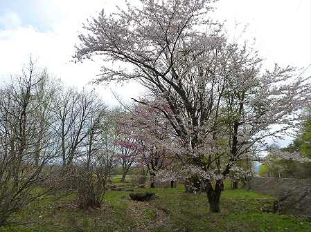 明治百年記念公園の桜03(2012.5.5)