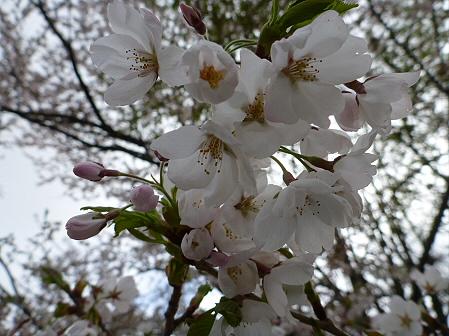 明治百年記念公園の桜04(2012.5.5)