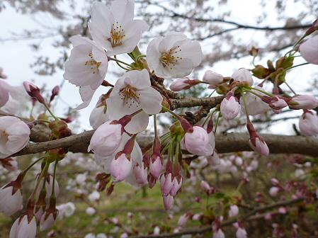 明治百年記念公園の桜05(2012.5.5)