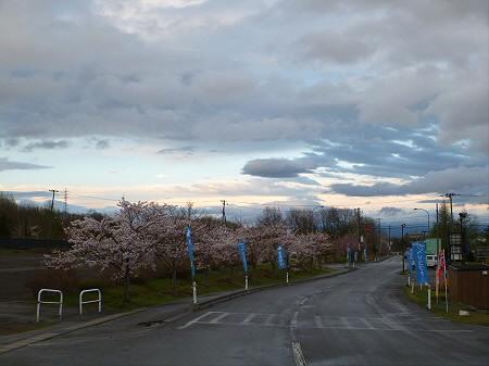 八幡平市さくら公園の桜01(2012.5.5)