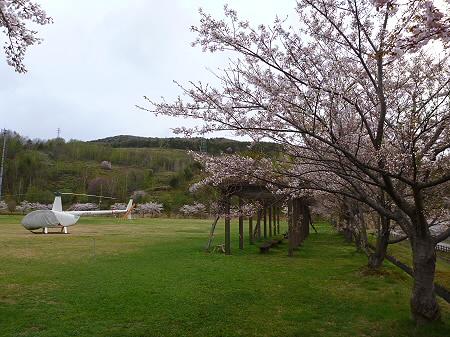 八幡平市さくら公園の桜02(2012.5.5)