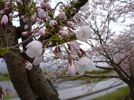 八幡平市さくら公園の桜03(2012.5.5)