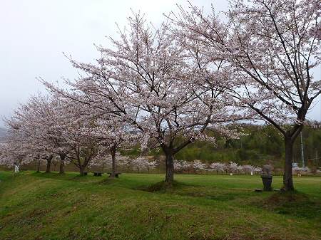 八幡平市さくら公園の桜04(2012.5.5)