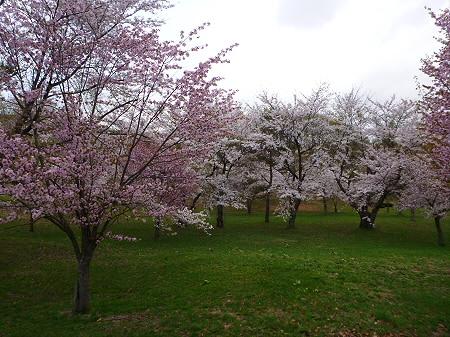 八幡平市さくら公園の桜06(2012.5.5)