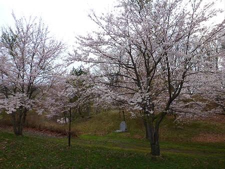 八幡平市さくら公園の桜07(2012.5.5)