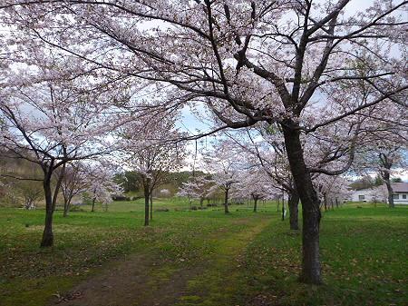八幡平市さくら公園の桜08(2012.5.5)