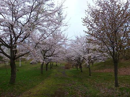 八幡平市さくら公園の桜09(2012.5.5)