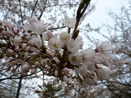 八幡平市さくら公園の桜10(2012.5.5)