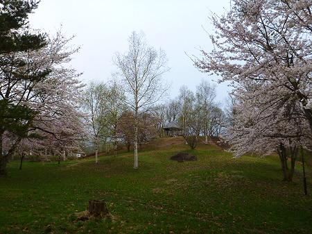 八幡平市さくら公園の桜11(2012.5.5)
