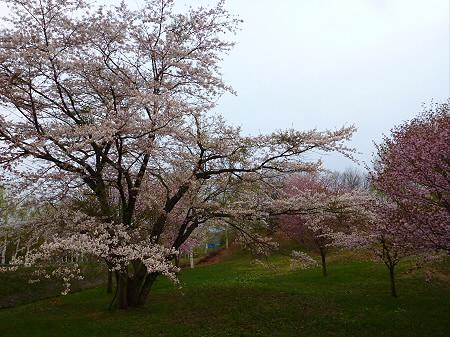 八幡平市さくら公園の桜12(2012.5.5)