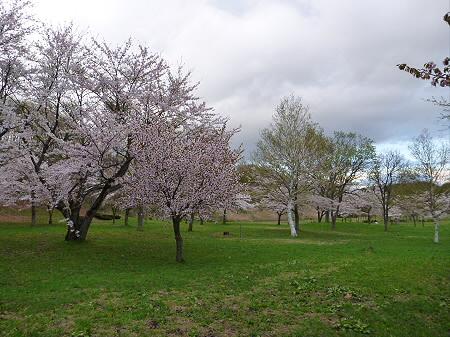 八幡平市さくら公園の桜13(2012.5.5)