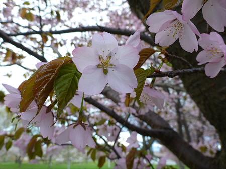 八幡平市さくら公園の桜14(2012.5.5)