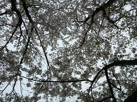 為内の一本桜06(2012.5.5)