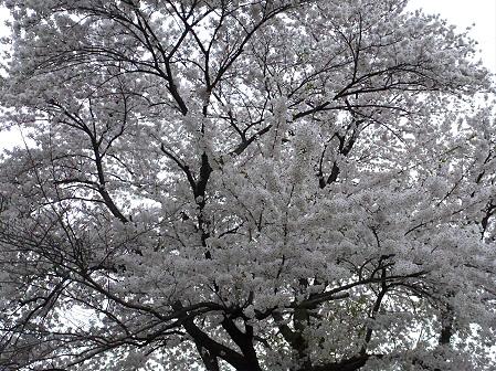 為内の一本桜09(2012.5.5)