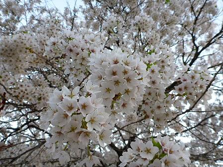 伊那々伊澤神社の桜03(2012.5.7)
