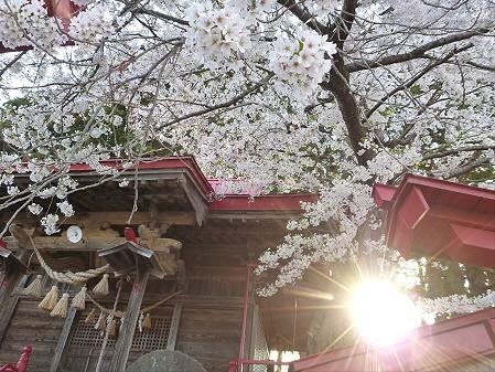伊那々伊澤神社の桜04(2012.5.7)