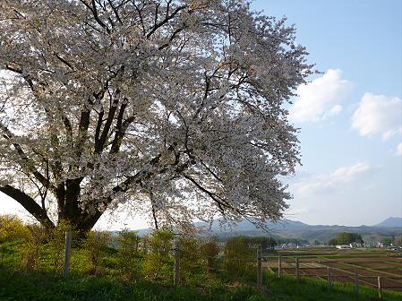 為内の一本桜07(2012.5.7)