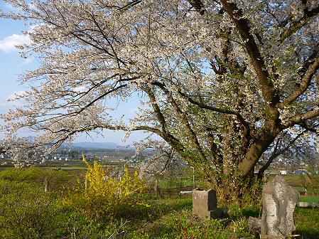 為内の一本桜09(2012.5.7)