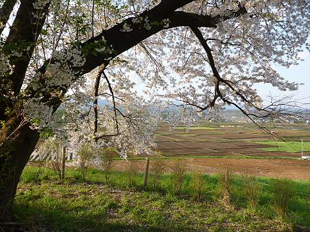 為内の一本桜11(2012.5.7)
